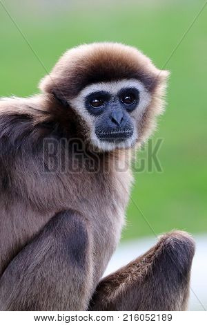 A white-handed gibbon with a green background
