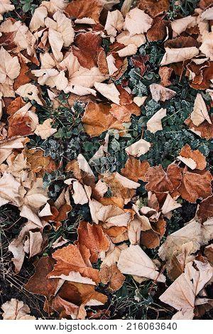 A hoar frost covers fallen autumn leaves