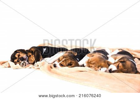 Lovely puppies of a tri-color beagle are sleeping on beige plaid on floor. White background