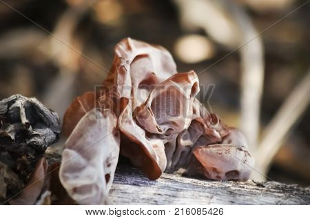 A Fungus Known as Jew's Ear Wood Ear or Jelly Ear Growing on a Forest Log