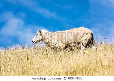 sheep outdoors in warm winter sunlightcute sheep staying enjoy nature feed up on the hill in field of green grass meadow farming in south new zealand