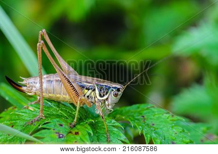 Portrait of a female grasshopper with a long mustache which sits on a green leaf