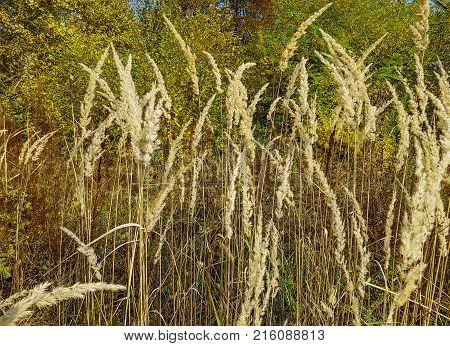 Autumn forest, nature landscape. Long dry grass.