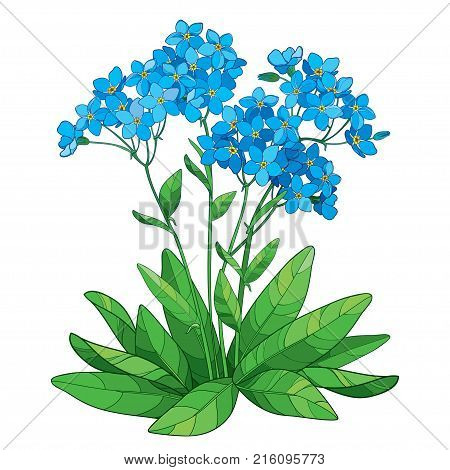 Vector bouquet with outline Forget me not or Myosotis flower in blue, bunch, bud and green leaves isolated on white background. Wildflower Forget me not in contour style for spring design.