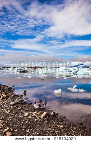 The Icelandic geese are grazed on the bank of lagoon.  The concept of northern ecotourism. Sunrise illuminates the glacier Vatnajokull and water of Ice Lagoon Jokulsarlon