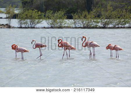 Group of flamingos wading in Jan Kok Salt Lake, Curacao