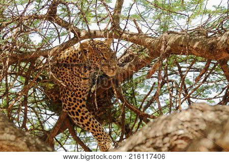 Closeup of a  Leopard (scientific name: Panthera pardus, or