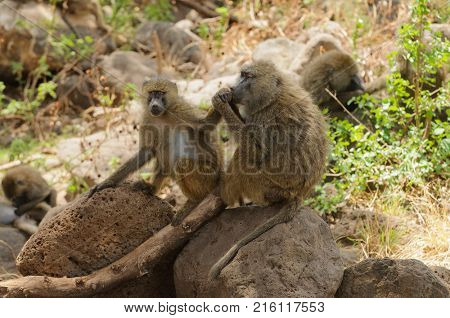 Closeup of Olive Baboons (scientific name: papio anubis, or Nyani in Swaheli) image taken on Safari located in the Lake Manyara National park in the East African country of Tanzania
