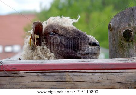 Portrait of sheep looking out of the fence