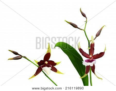 Orchid Cambria  with leaves and buds isolated on white background  with clipping path.