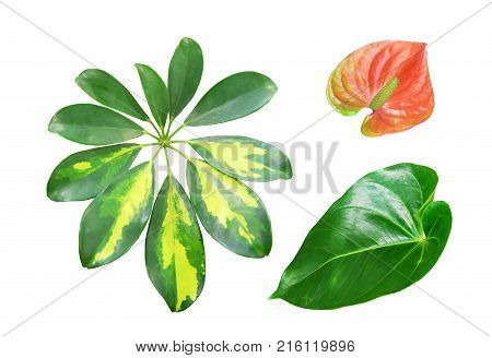 A set of tropical indoor plants:Schefflera and the Anthurium.