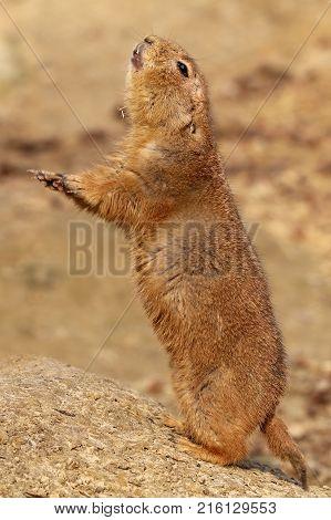 An alert prairie dog with sand background