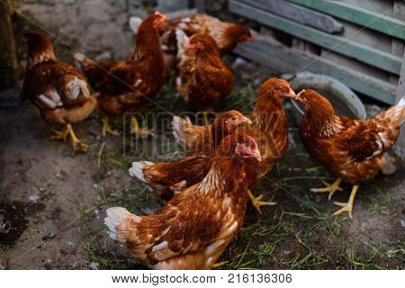 Red chickens in a farmstead in a natural environment