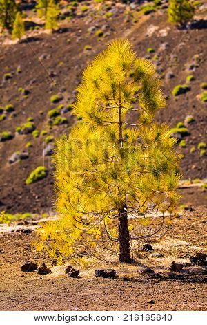 pine reforestation in the Teide volcanic area Tenerife island close up