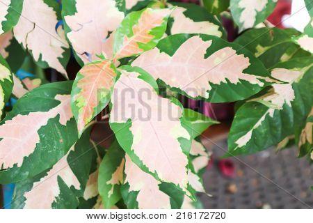 Caricature plant or Graptophyllum pictum plant in the garden
