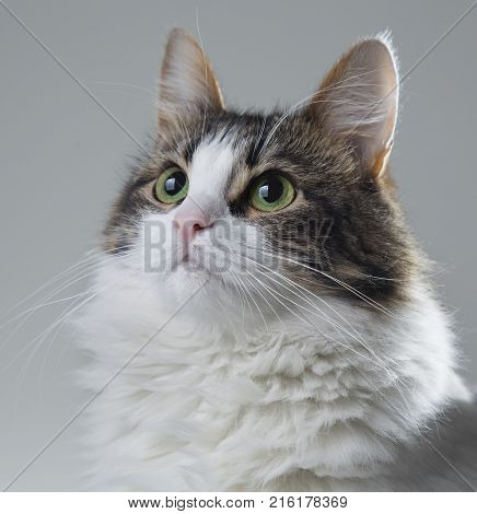 fluffy beautiful white cat with green eyes and dark back on a white background