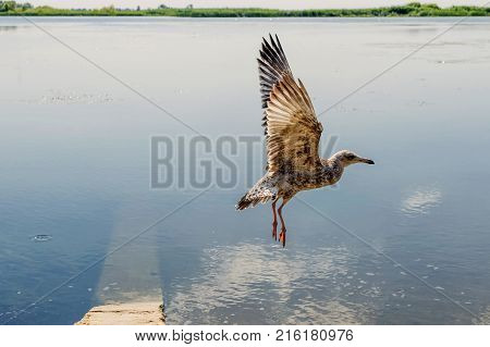 flight of a Mediterranean gull against the background of the river and shore in the background