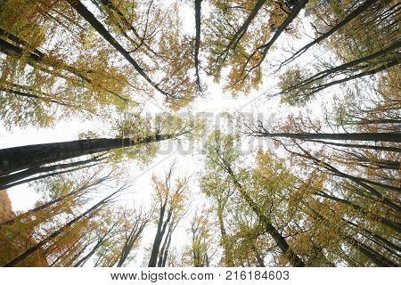 Autumn beeches - view from below - fish eye lens