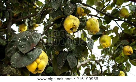 Bunch of juicy yellow quinces fruits. Quince. Shallow focus.
