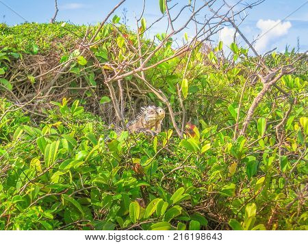 Iguana on tropical forest in French Antilles. La Desirade celebrated for its iguana population. The island has been declared a Natural Reserve. Guadeloupe Archipelago, French Caribbean.