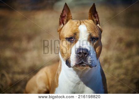 dog of red color breed American pit bull terrier