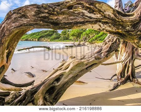 Tree trunk ripped from a tropical storm lying on the wild coast of Grande-Terre in Guadeloupe island, French Caribbean and French Antilles. Summer tropical storm season.