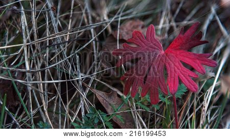 Red colorful autumn leaf closeup macro in the forest