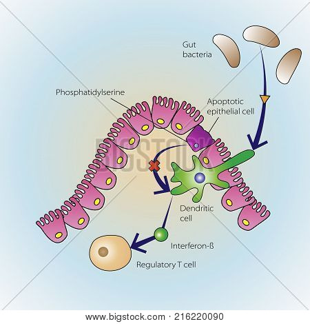 The process of epithelial cells dying in regulation of the immune system, vector medical illustration