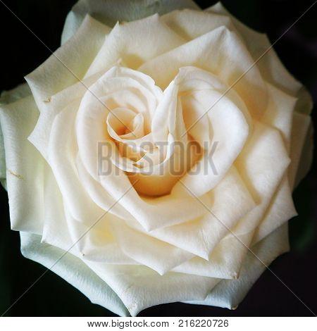 Utslagen vit ros ovanifrån med mörk bakgrund.