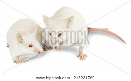 White lab laboratory rats white background red background