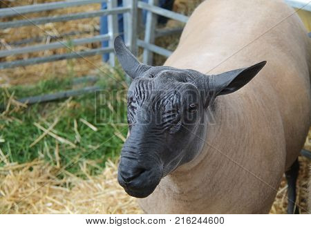 The Distinctive Black Head of a Bleu Du Maine Sheep.