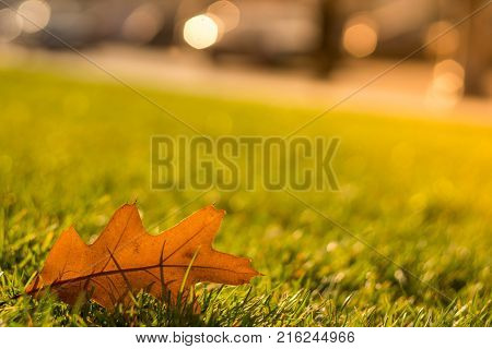 Oak leaf on green grass. The dew on the grass. Bright green lawn. Grass on the lawn. Sunny lawn. Dry oak leaf on the grass. City landscape.