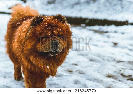 Chow Chow Dog In Snowed City Par