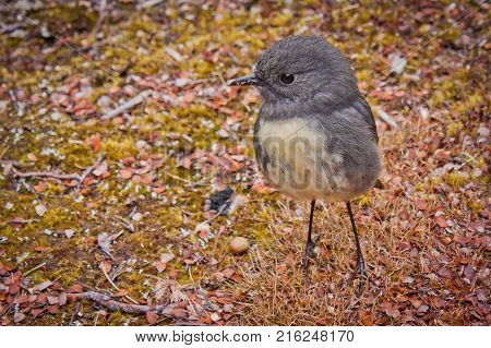 Small bird Robin is endemic species living in New Zealand
