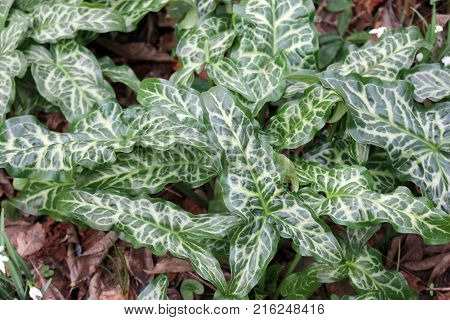 Attractive Italian arum (Arum italicum) foliage with striking pale veins on the leaves.
