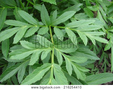 Leaves from angelica archangelica plant in a garden