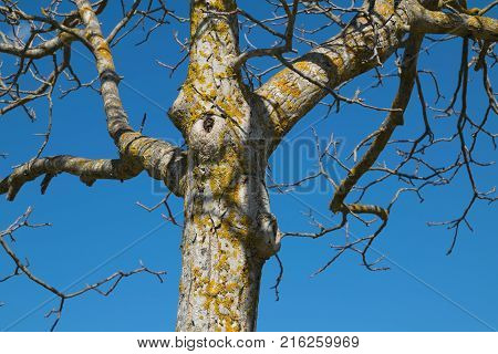 gnarled pear tree with branches without leaves, covered with yellow moss