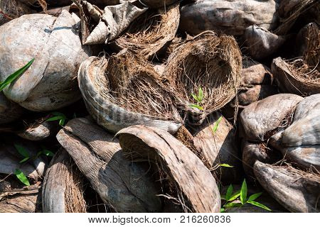 Close up several old coconut husks lying on ground