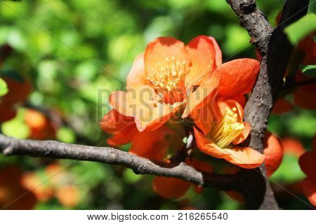 Flowering quince shrub. Selective focus. Springtime garden. Orange flowers on the branch. Blooming quince bush. Sunny day.