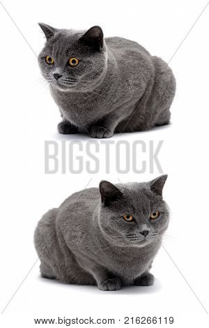 cat with yellow eyes lying on white background. vertical photo.