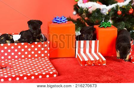 Puppy In Gift Box. Pet As Xmas Present Near Tree.