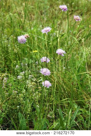 The Flowers of field scabious (knautia arvensis)