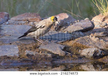 Wattled Starling drinking water at a waterhole in the Kalahari