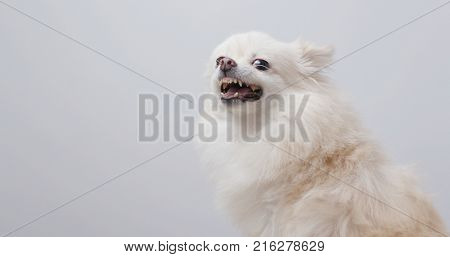 White pomeranian dog get angry