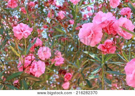 Blossom Azalea Bush Pink Flower Leaves Close Up in Outdoor Park. Summer Sunny Day Scene with Bright Nature Plant and Colorful Flowers Petals Image. Landscape Wallpaper at the Garden Terrace Yard.