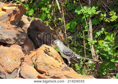 Mockingbird on the rocks