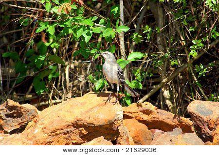 Mockingbird among rocks