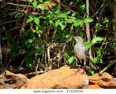 Mockingbird, State Bird of Texas, standing proud