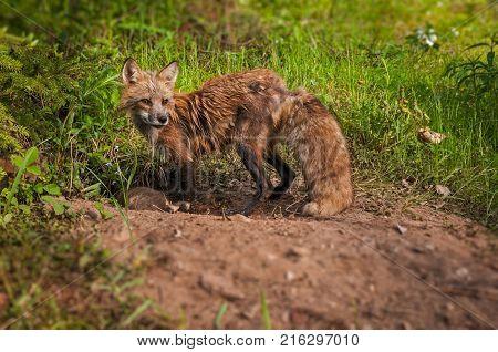 Red Fox (Vulpes vulpes) Vixen Looks Away From Den - captive animals