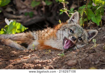 Grey Fox (Urocyon cinereoargenteus) Vixen Lies at Densite - captive animal